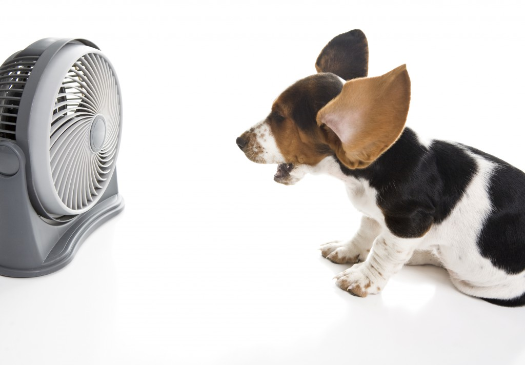 bassett hound in front of a fan with its ears flapping in the wind