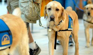 Yellow Labrador service dogs wearing blue vests. One in clear focus.